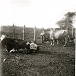 Cattle at a farm
